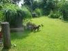 Korax ist eine gezähmte Dohle