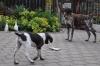 Jester und Annabelle beim Vorstehen