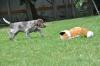 Holly - Vorstehen am Fuchs