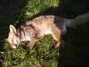 Der Fuchs ist zur Strecke gebracht - aber Ditza muss zum TA