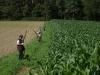 Treibjagd am Mais