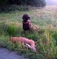 Esko in Österreich - mittlerweile ein angefragter Nachsuchenhund