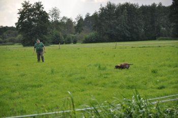 Dax - der Altmeister - findet einen Hasen....und läßt ihn gehorsam ablaufen...